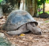 foto of terrestrial animal  - Close up Adult Huge Aldabra Tortoise Animal on the Ground with Dry Leaves at the Zoo - JPG
