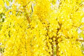 pic of cassia  - Fully yellow color of Golden flower or Cassia fistula with blue sky background - JPG