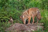 pic of coyote  - Adult Coyote (Canis latrans) and Pup Sniff About Den - captive animal
