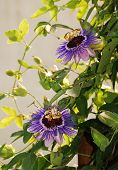 picture of tendril  - Two Purple Haze Passiflora flower an evergreen tendril climbing vine - JPG