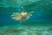 pic of lion-fish  - Lion Fish isolated on blue - JPG