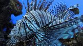 picture of venomous animals  - Exotic Zebra Fish Or Striped Lionfish - JPG