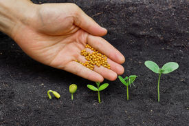picture of germination  - hand giving chemical fertilizer to plants growing in sequence of seed germination on soil - JPG