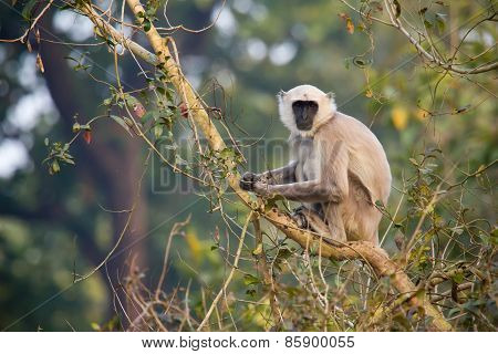 Hanuman Langur perched on a tree at Bardia national park