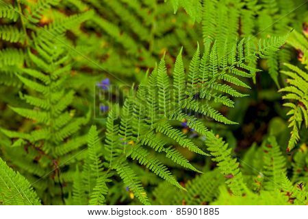 Juicy Green Fern Leaves In The Forest