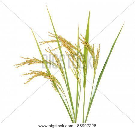 rice drops