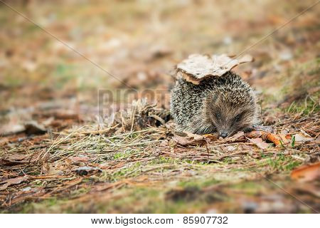 hedgehog on the forest background