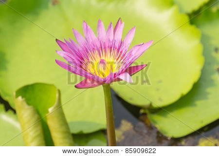 violet lotus with the leaf
