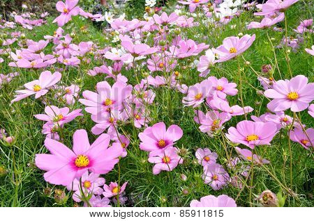 Pink and White Cosmos In The Field