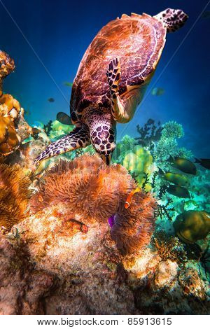 Hawksbill Turtle - Eretmochelys imbricata floats under water. Maldives - Ocean coral reef.