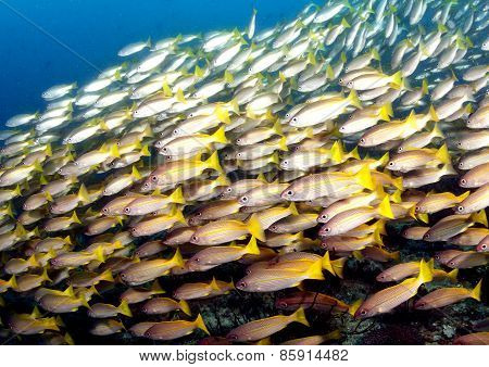 Swarm Of Goldlined Sea Bream