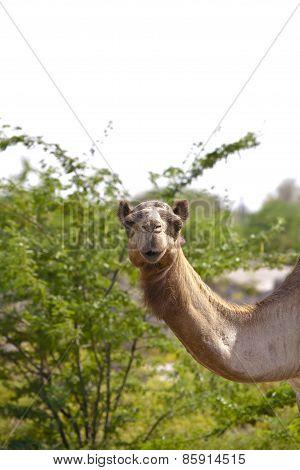 Camels In Oman I