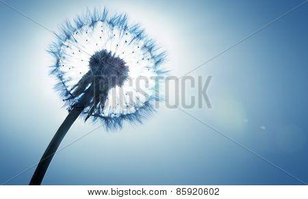dandelion - spring and allergy