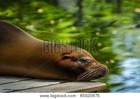 Closeup Of Sleeping Seal