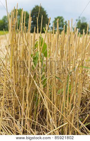 Mown Wheat