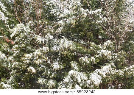 Fresh Snow On Cypress Trees