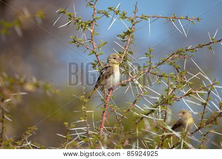 African Yellow Finch