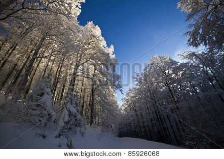 wide angle, snowy forest in Vosges, Le Drumont, France