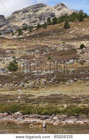 Landscape With Spanish Mastiff Dog Swimming In A Lake. Soria