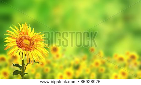 Bright yellow sunflowers on green background