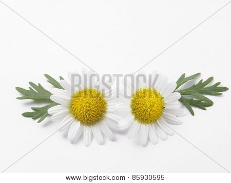 daisy flower against white background