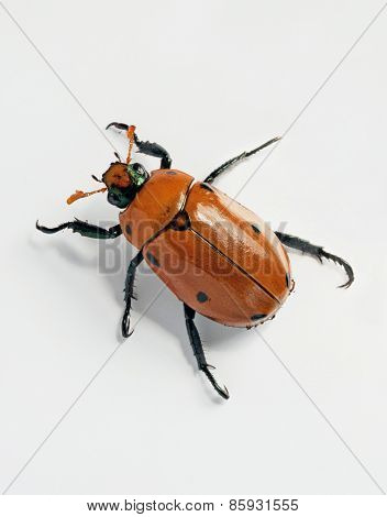 Crawling Masked Chafer Beetle