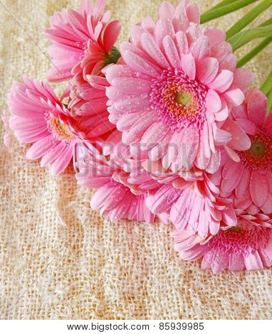 Pink Gerber Flowers Isolated.