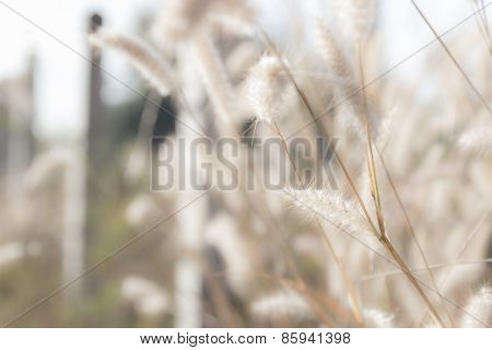Grass Flower In The Paddy Field, Soft Focus