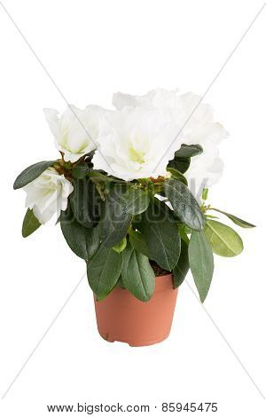 Blossoming White Mini-azalea, It Is Isolated On A White Background