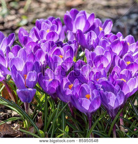 Purple Crocuses Close Up