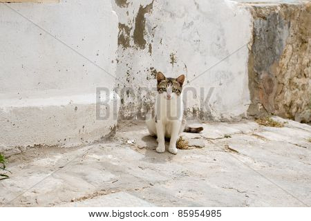 White And Gray Cat Walking The Streets Of Sidi Bou Said, Tunisia.