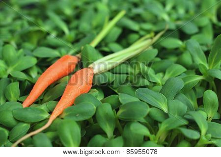 Fresh Carrots On A Background Of Green Leaves.
