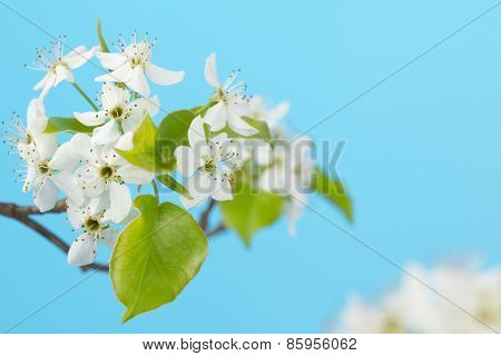White Cherry Blossoms Close Up