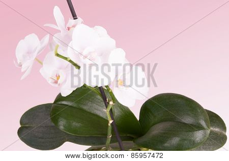 Tender White Orchid