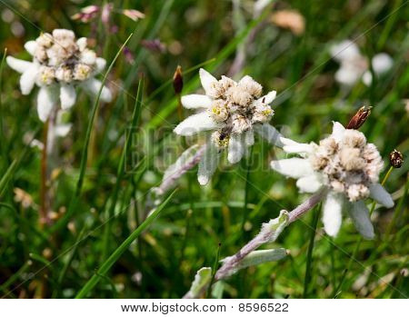 Edelweiss Beautiful Mountain Flower