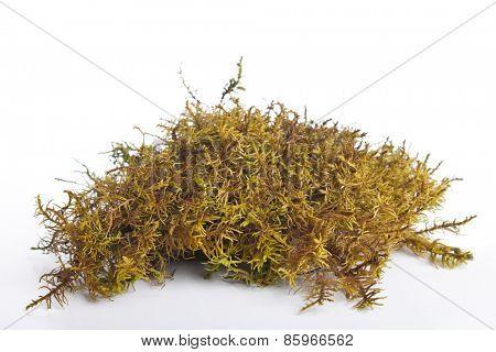 Moss on white