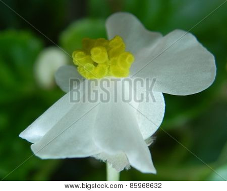 White wax begonia