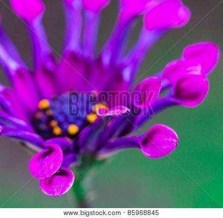 Single Osteospermum 'astra Purple Spoon'