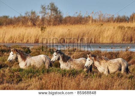 Three Horses Of Camargue