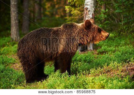 Brown Bear In A Fantastic Light