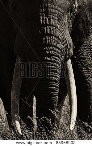 Elephant Portrait In Black And White