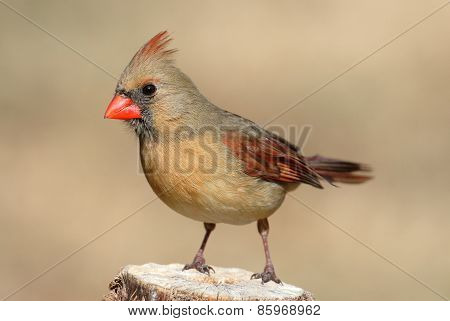 Female Cardinal On A Branch