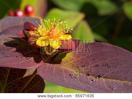Closeup of Hypericum, St. John's Wort,  Flower