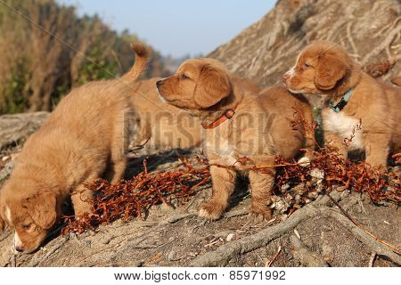 Gorgeous Puppies Of Nova Scotia In Nature
