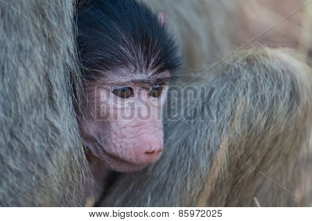 Baby Baboon Hiding In Body Of Mother For Safety