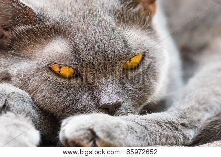 The British Cat