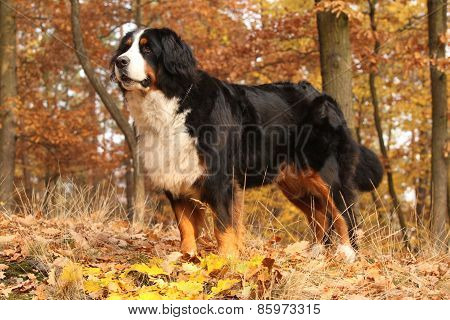 Gorgeous Bernese Mountain Dog Standing In Autumn Forest