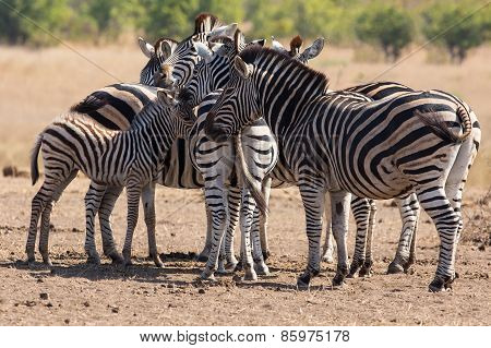 Zebra Herd In Colour Photo With Heads Together