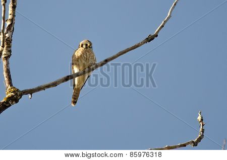 American Kestrel Perched On A Branch In A Tree