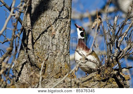 Male Wood Duck Looking To The Sky While Perched In A Tree